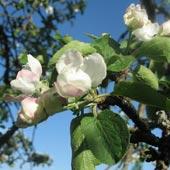kuva:omenankukka.jpg:kuva